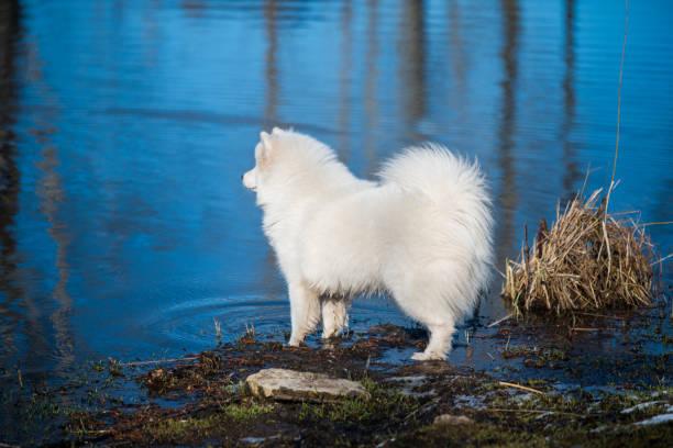 White fluffy Samoyed dog puppy is walking outside stock photo