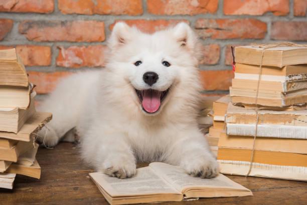 White fluffy Samoyed puppy dog with book stock photo