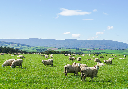 white fluffy sheep herd on green yard at hill in New Zealand for agriculture