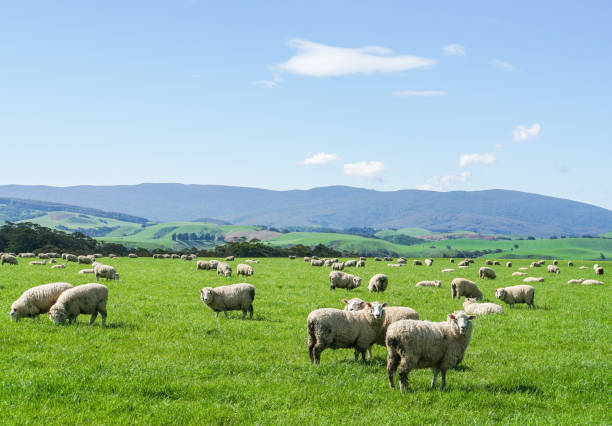 white fluffy sheep herd on green yard at hill in New Zealand for agriculture white fluffy sheep herd on green yard at hill in New Zealand for agriculture flock of sheep stock pictures, royalty-free photos & images