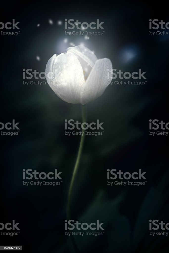 White forest flower Anemone nemorosa shining and sparkle on dark background . Blurred focus. Miracle and hope concept. Low key toned. Copy space royalty-free stock photo