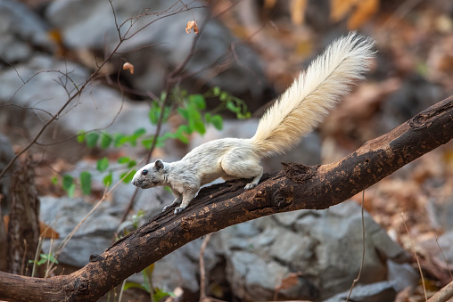 A white forest squirrel is climbing a branch for food.