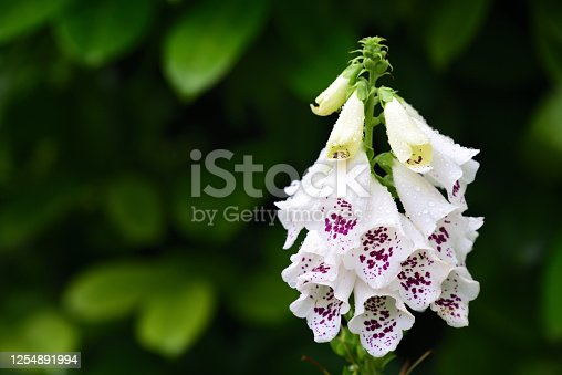 A white foxglove stands in bloom after the rain against a green background