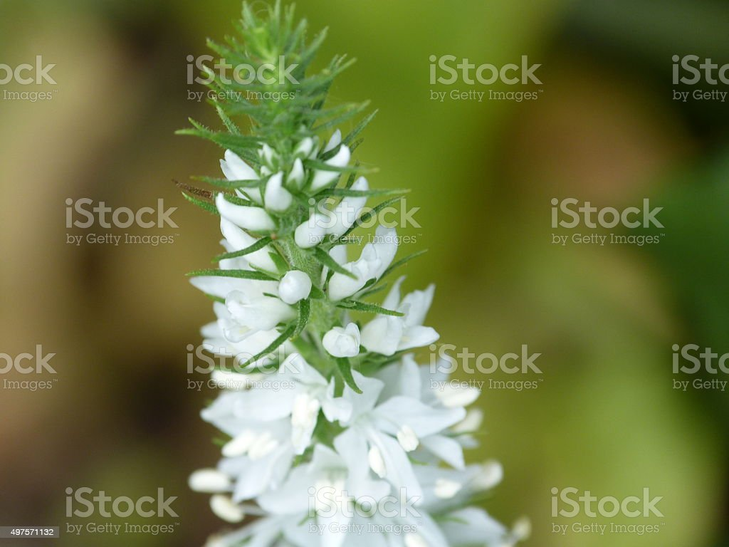 White foxtail lily and buds stock photo