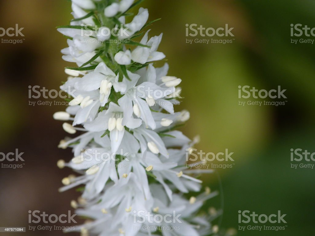 White foxtail lily stock photo