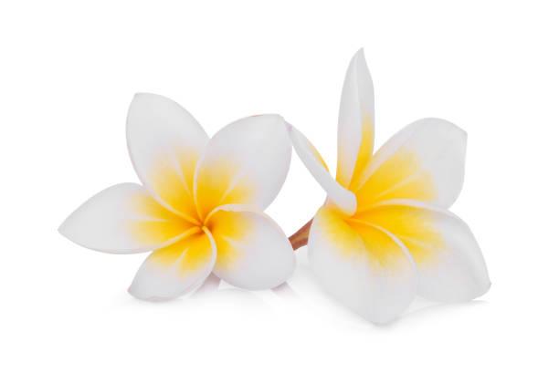 white frangipani (plumeria) flower isolated on white background – zdjęcie