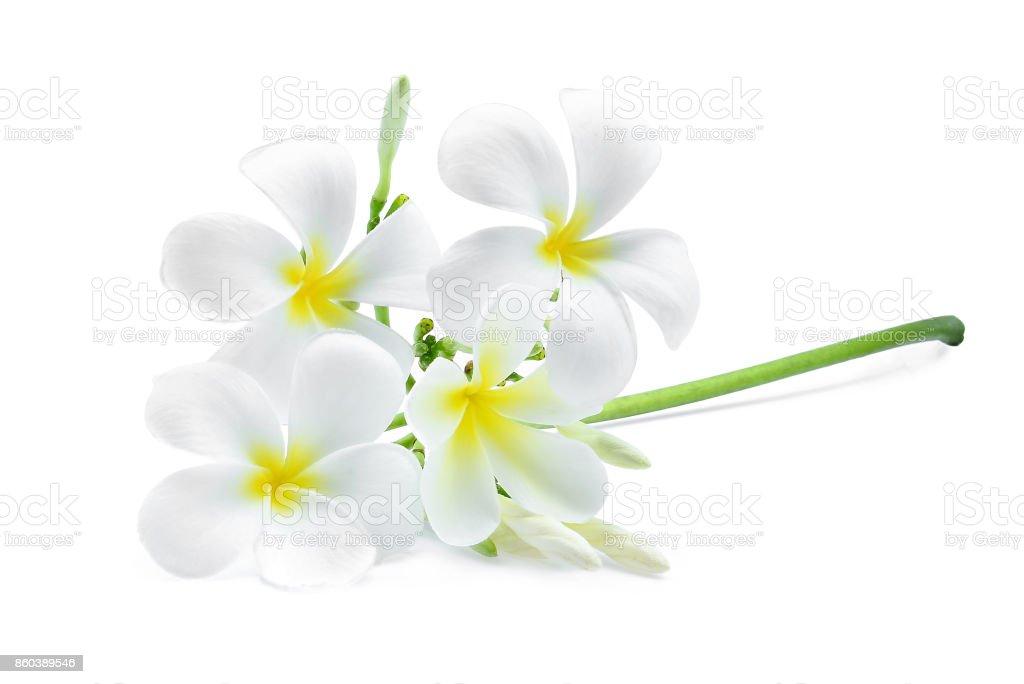 white frangipani (plumeria) flower isolated on white background stock photo