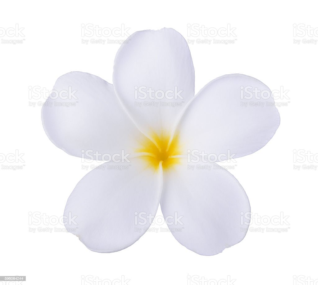 white frangipani flower isolated white royalty-free stock photo