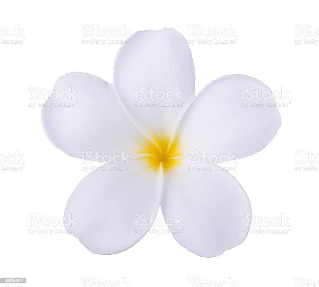 white frangipani flower isolated white stock photo