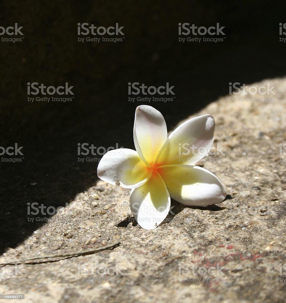 Белого франжипани цветок на черном фоне Стоковые фото Стоковая фотография