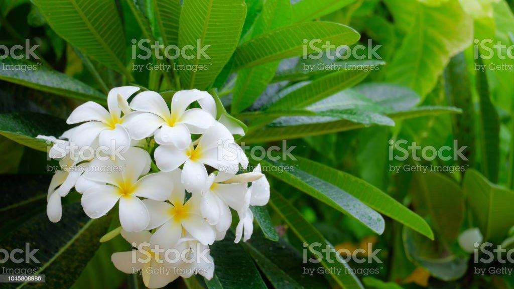 White frangipani flowers in nature stock photo