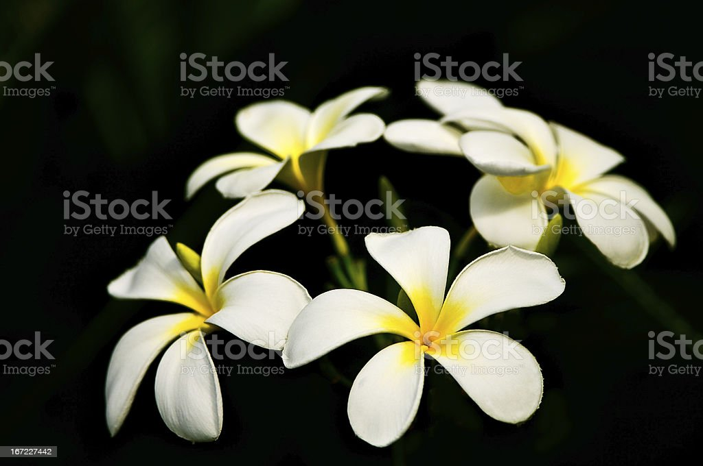 White Frangipani (Plumeria) flowers on black royalty-free stock photo