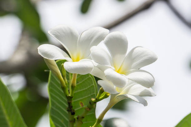 White Frangipani flowers with Blur Sky Background Lovely Flower Concept. stock photo