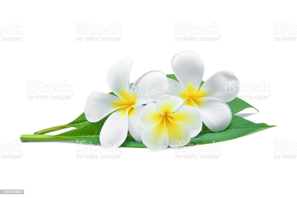 white frangipani or plumeria (tropical flowers) with green leaves isolated on white background stock photo