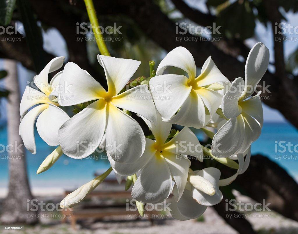 White Frangipani stock photo