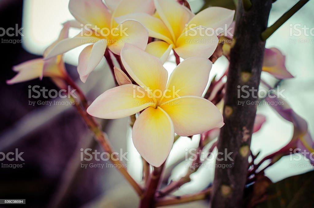 White frangipani tropical flower, plumeria flower blooming on tree foto de stock libre de derechos