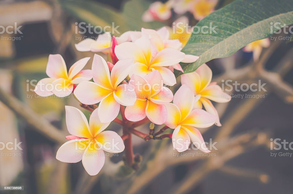 White frangipani tropical flower, plumeria flower blooming on tree royalty-free stock photo