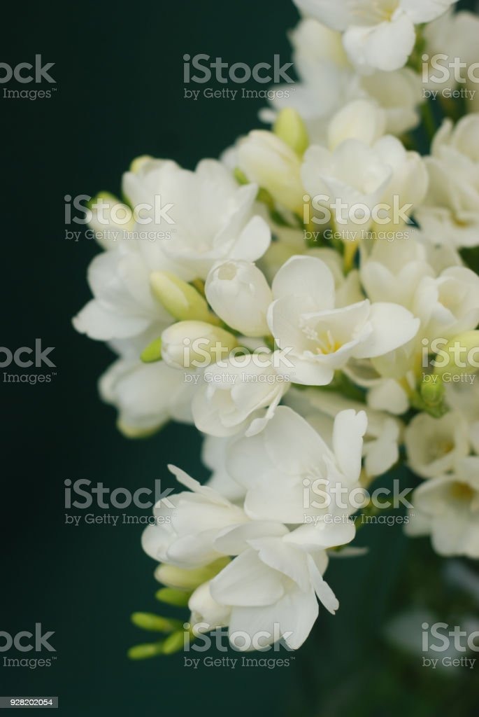 White Freesia Bouquet of Flowers on Black Background. close up. стоковое фото