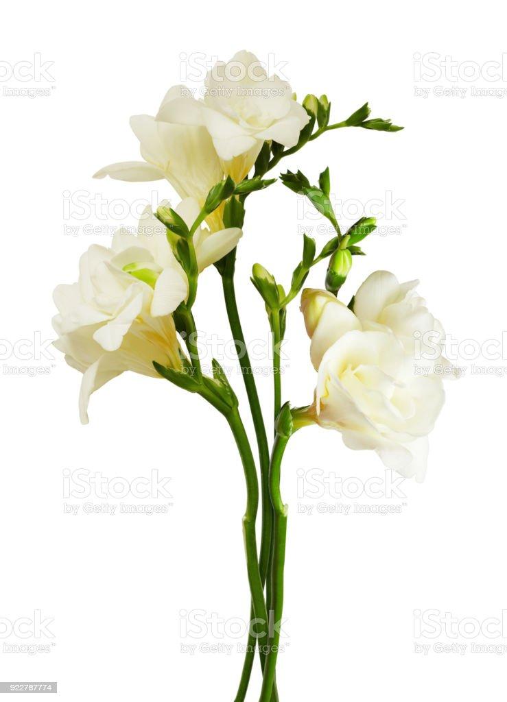White freesia flowers and buds stock photo istock white freesia flowers and buds royalty free stock photo mightylinksfo