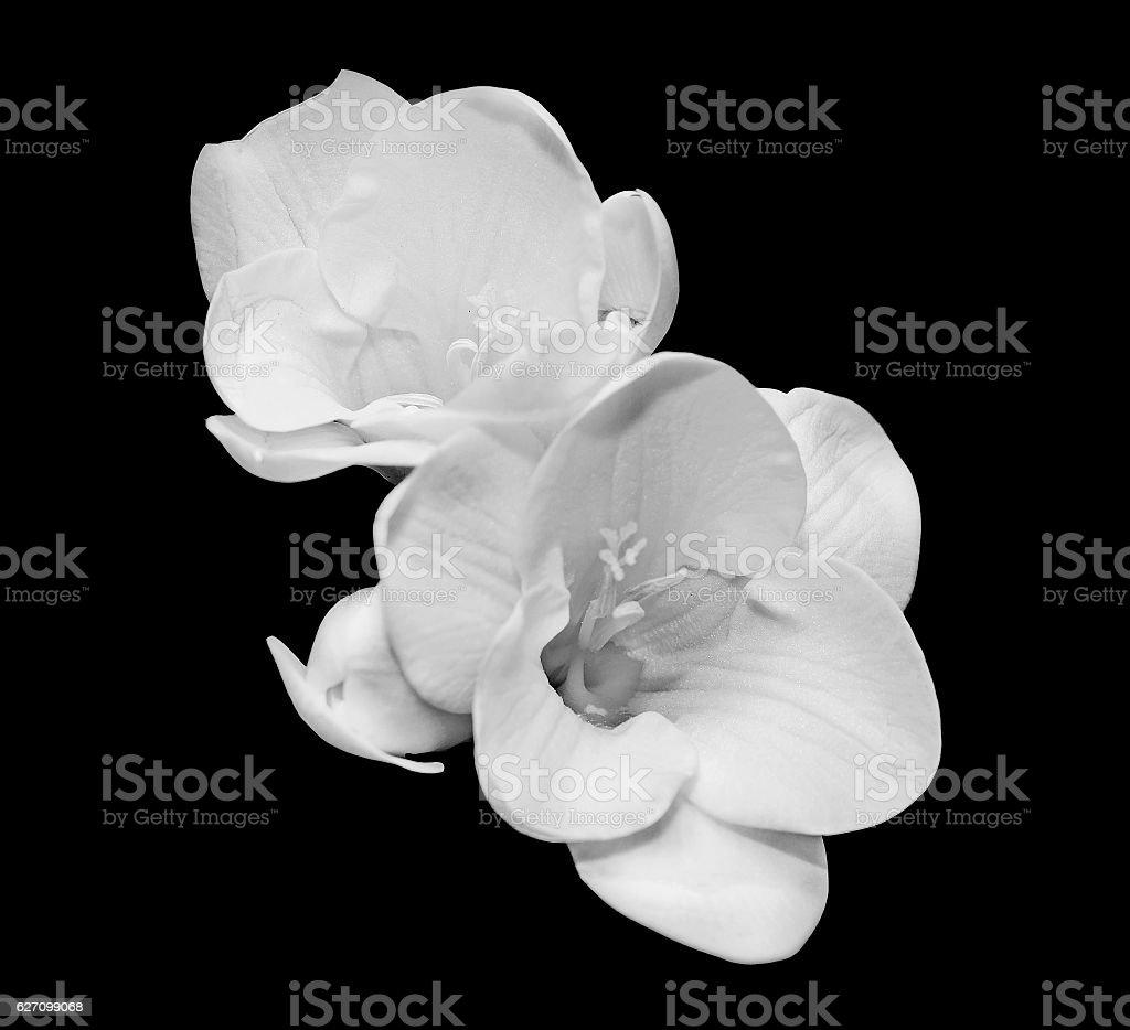 White Freesia Flowers Close Up Black Background Stock Photo More
