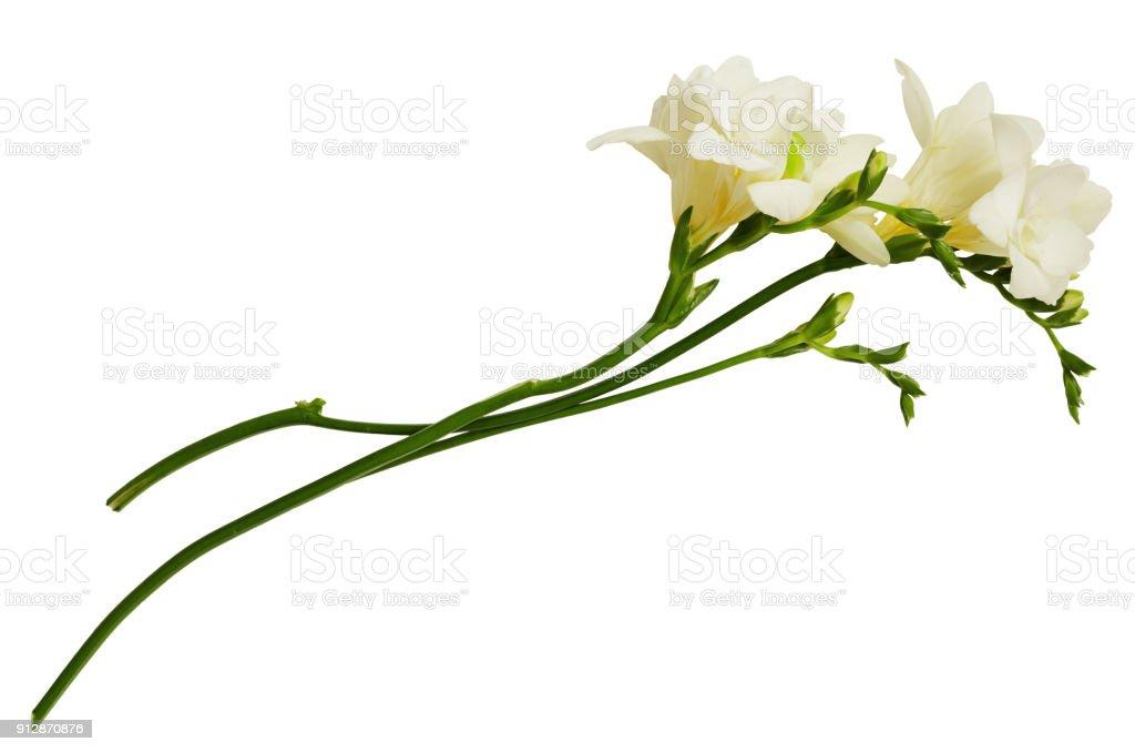 White freesia flowers stock photo more pictures of beauty istock white freesia flowers royalty free stock photo mightylinksfo