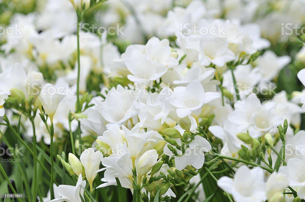 White Freesia in Blossom圖像檔