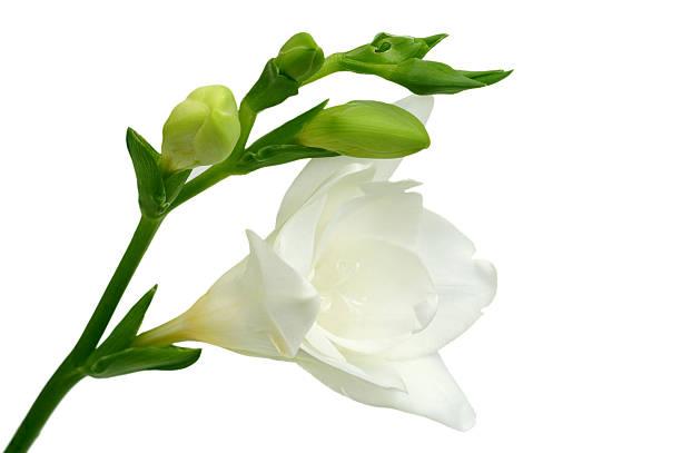 White freesia on green background stock photo
