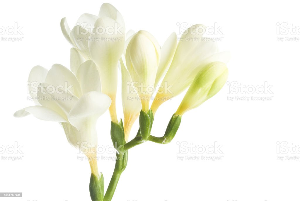 White Freesia royalty-free stock photo
