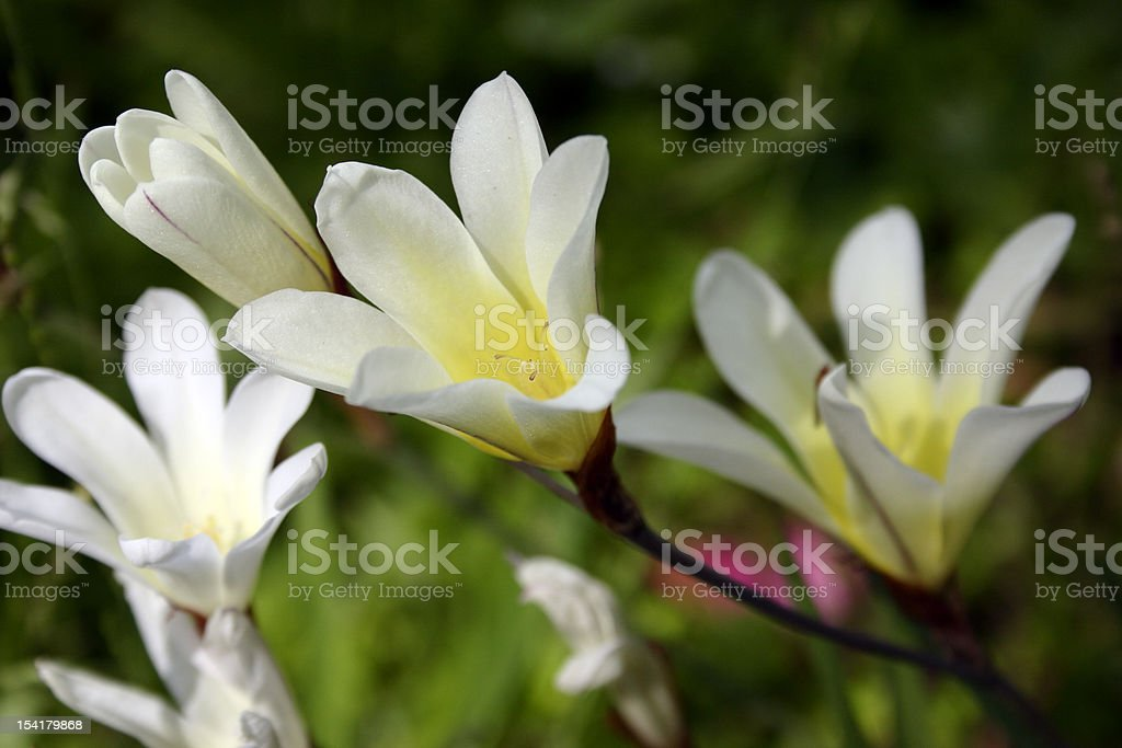 White Freesias stock photo