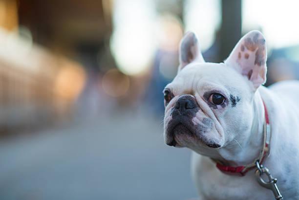 White french bulldog picture id524884601?b=1&k=6&m=524884601&s=612x612&w=0&h=gtiao6v570hlrenloclpcscjbr1u3jpob xdmr8sdxs=