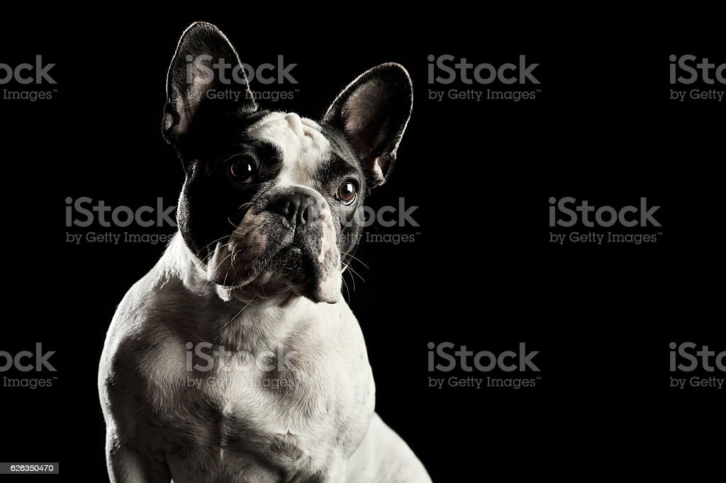 White french bulldog portrait - Photo