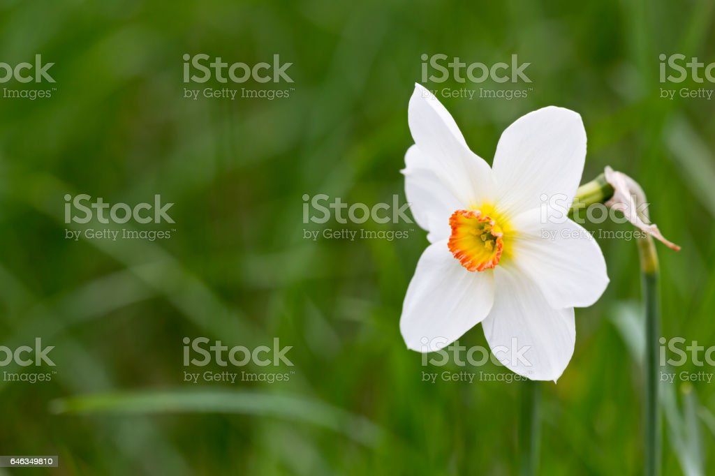white fresh daffodil on blurred green grass background stock photo