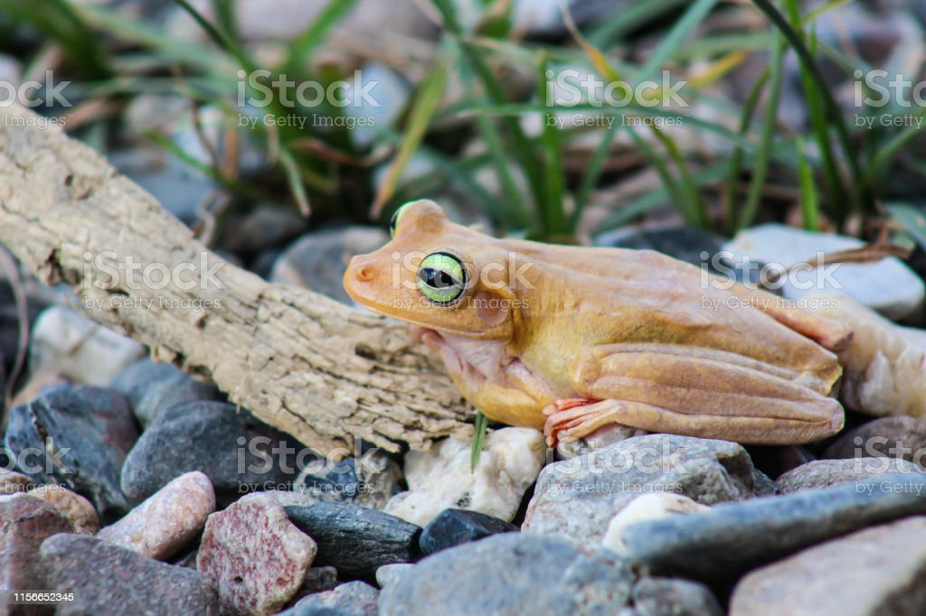 white frog and green eyed, an animal with vibrant eyes. Agalychnis...