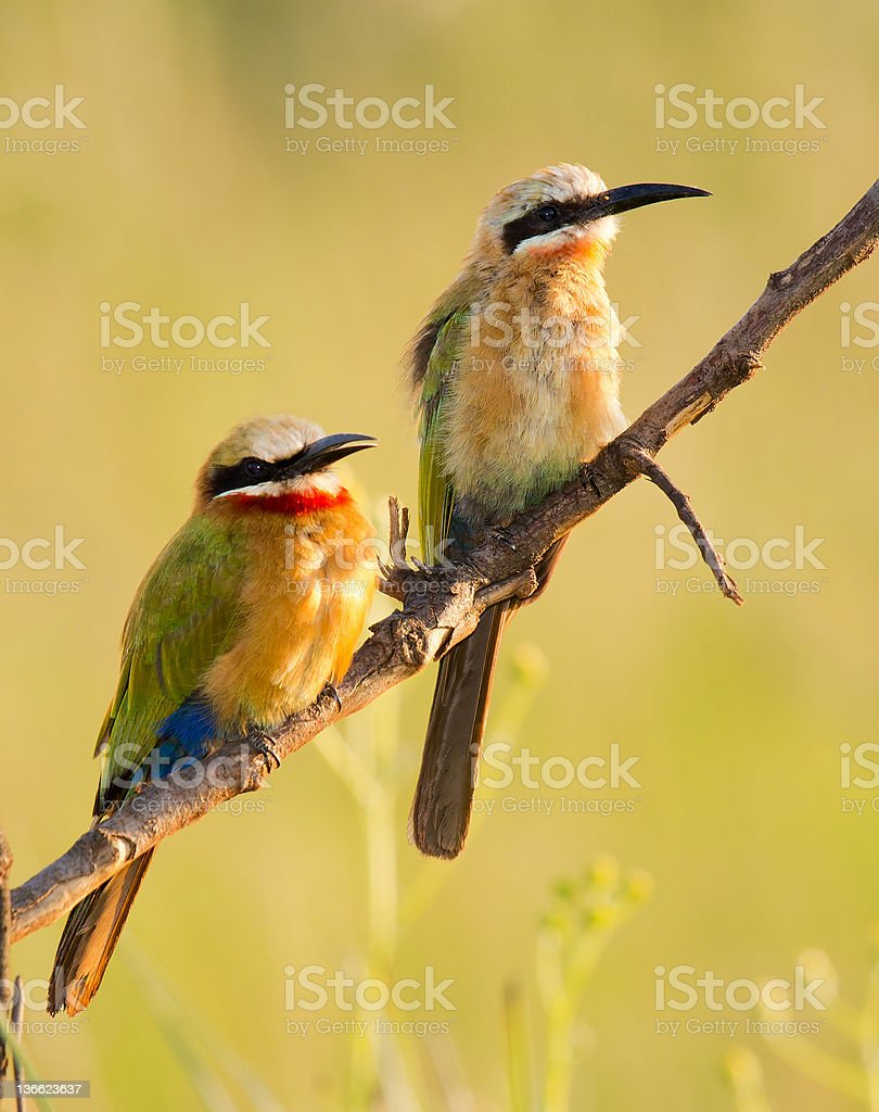 White Fronted Bee eater pair stock photo