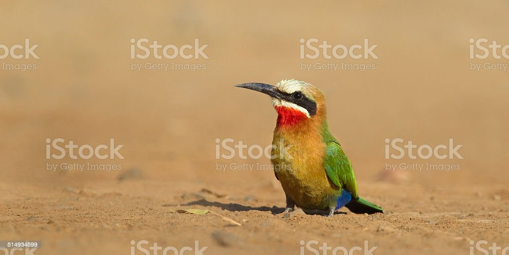 White fronted Bee-eater sat on bare ground stock photo