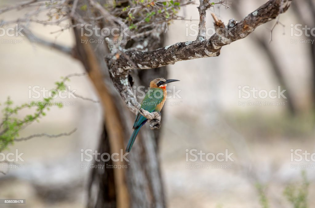 White Fronted bee-eater, Selous Game Reserve, Tanzania stock photo