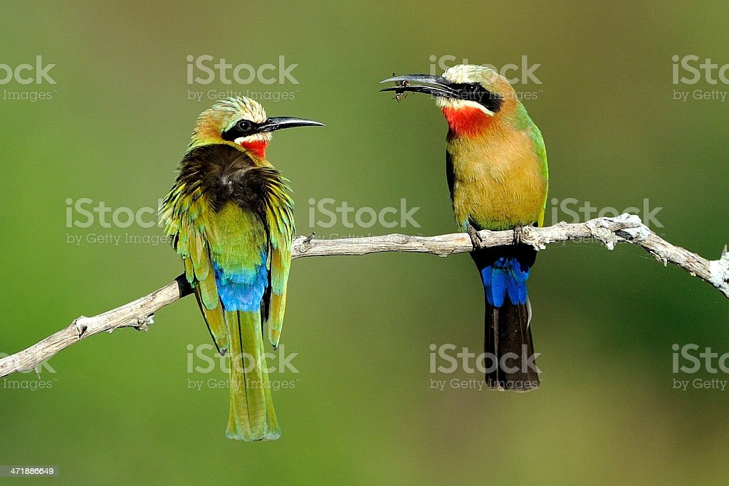 White fronted bee-eaters stock photo