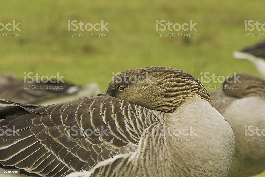White fronted goose almost sleeping royalty-free stock photo