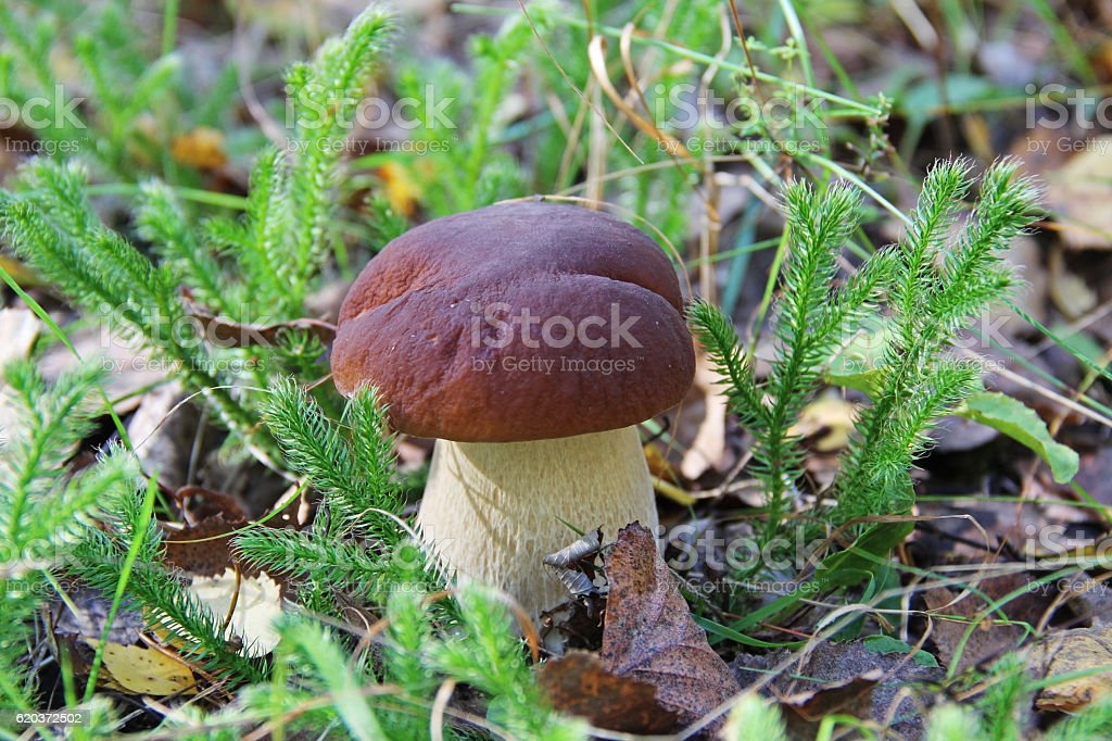 Biały, grzyb w lesie czyszczenie w lato. zbiór zdjęć royalty-free