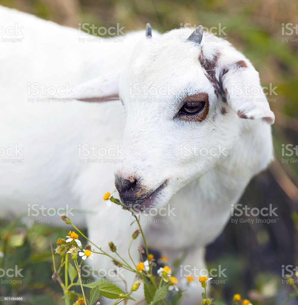 White funny goat on the meadow photo libre de droits
