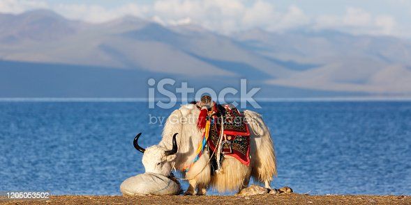 Nam Tso Lake, Tibet / China - August 2, 2017: White, furry yak with black horns eating (probably grass) from a bag. Colorful saddle. In back Nam Tso Lake & the fabulous tibetan mountain range.