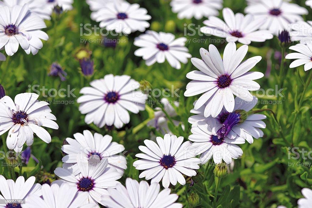 white gaisies in the garden royalty-free stock photo