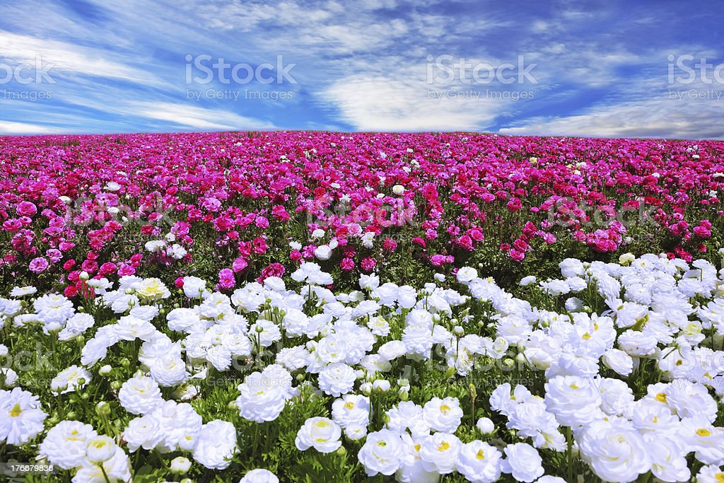 White garden buttercups adjoin to pink flowers royalty-free stock photo