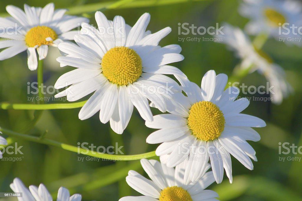 white garden camomiles royalty-free stock photo