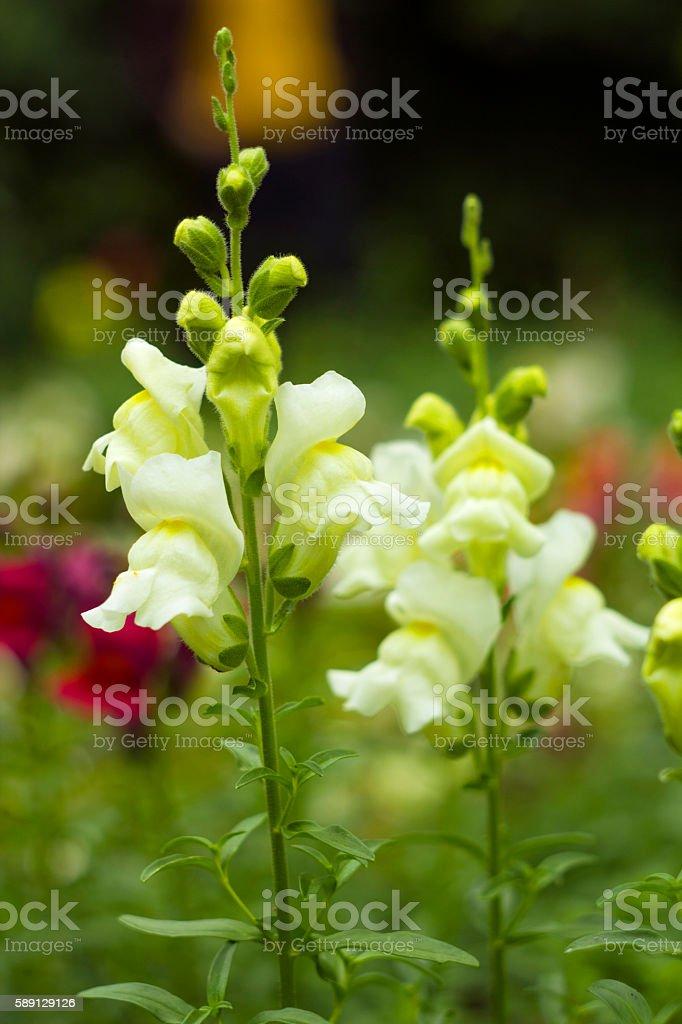 White garden flowers antirrhinum or dragon flowers or snapdragons white garden flowers antirrhinum or dragon flowers or snapdragons royalty free stock photo mightylinksfo