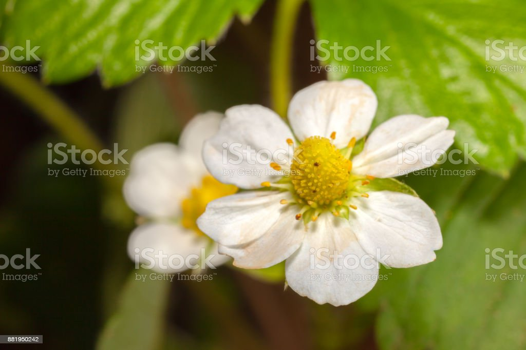 White Garden Strawberry flower - white petals flowers and green leaves stock photo