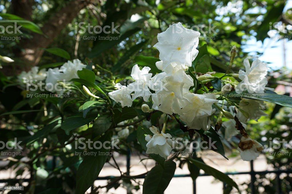 white Gardenia or Ervatamia