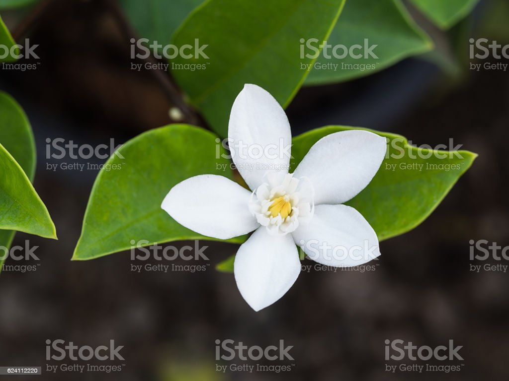 White Gardenia Flower Blooming in The Ground