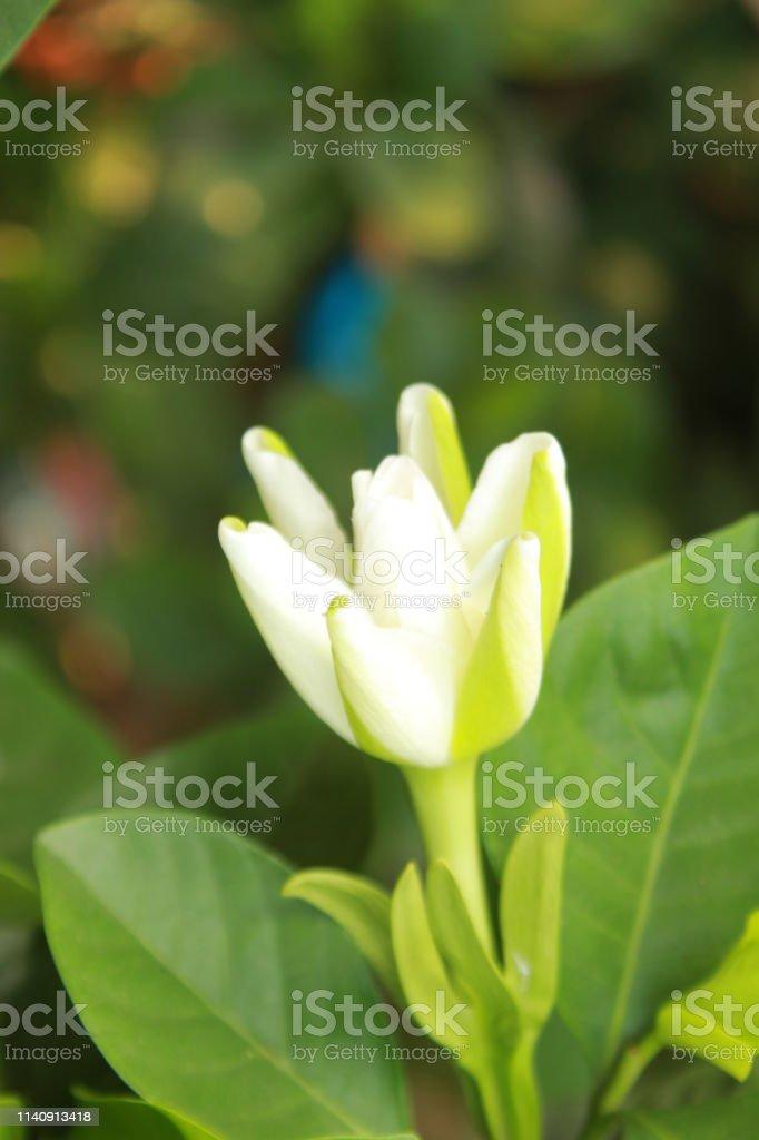 White Gardenia flower in bloom in garden,