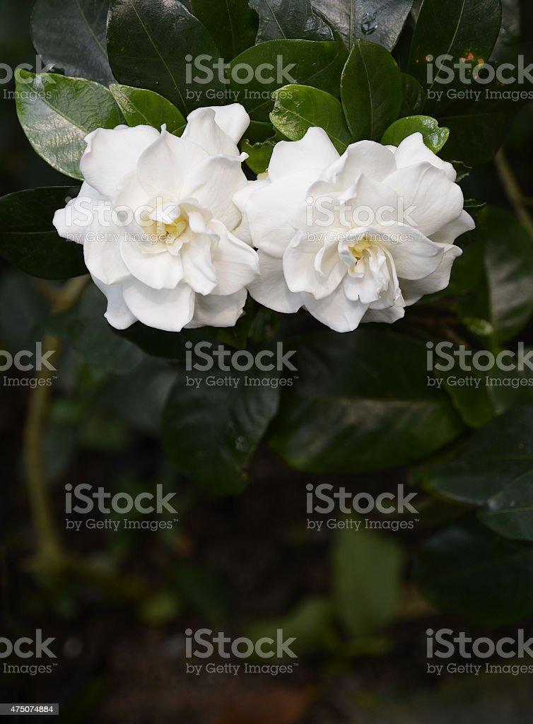 White gardenia flower on dark background.